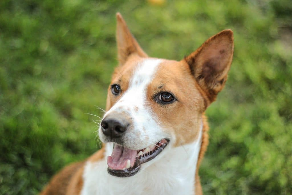 Where Can I Get A Basenji Dog
