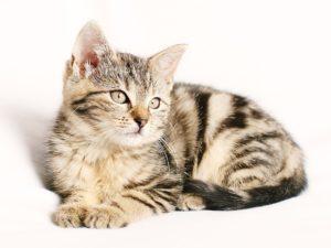 Flea Drops & Cats